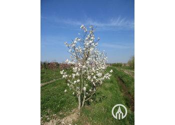 Boomkwekerij M. van den Oever Magnolia stellata - Meerstam
