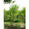Boomkwekerij M. van den Oever Magnolia stellata 'Royal Star' | Stermagnolia - Meerstam