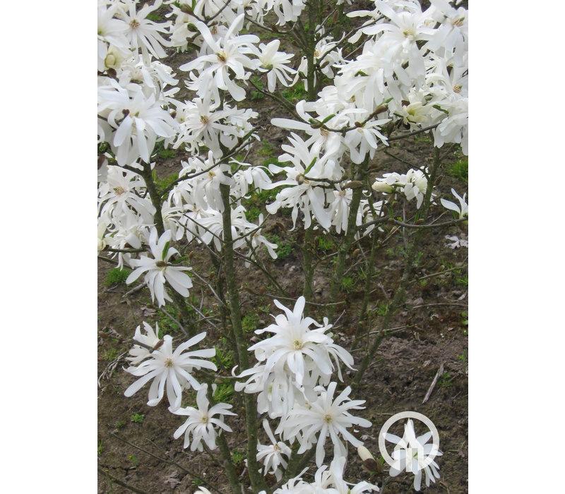 Magnolia stellata 'Royal Star' | Stermagnolia - Meerstam