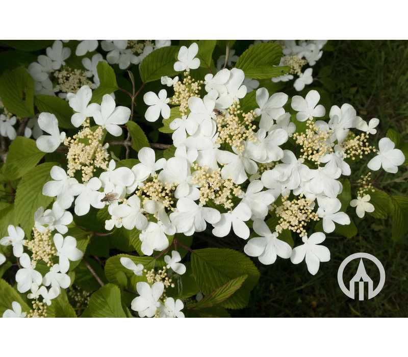 Viburnum plicatum 'Mariesii' | Japanse sneeuwbal