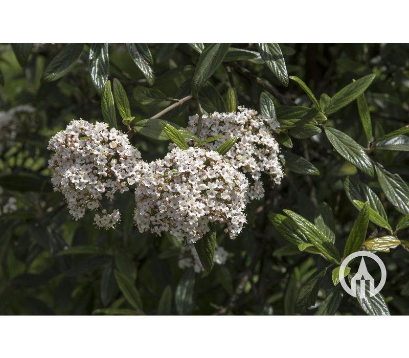 Viburnum 'Pragense' | Sneeuwbal
