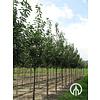 Boomkwekerij M. van den Oever Prunus avium 'Udense spaanse' - Sierkers