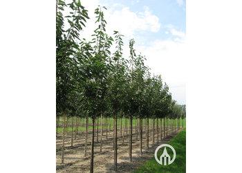 Boomkwekerij M. van den Oever Prunus avium 'Udense Spaanse'
