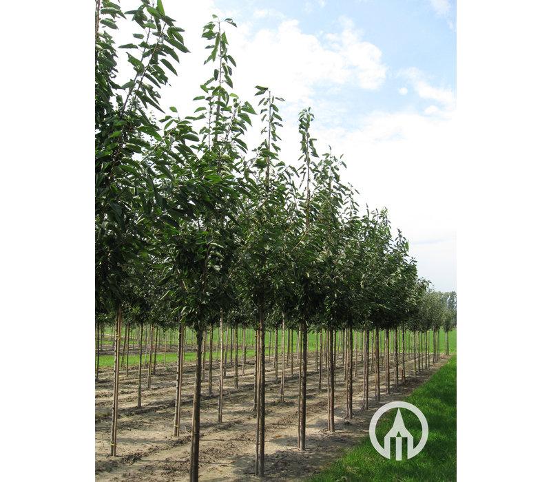 Prunus avium 'Udense spaanse' - Sierkers