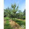 Boomkwekerij M. van den Oever Pinus sylvestris | Grove den