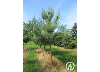 Boomkwekerij M. van den Oever Pinus sylvestris