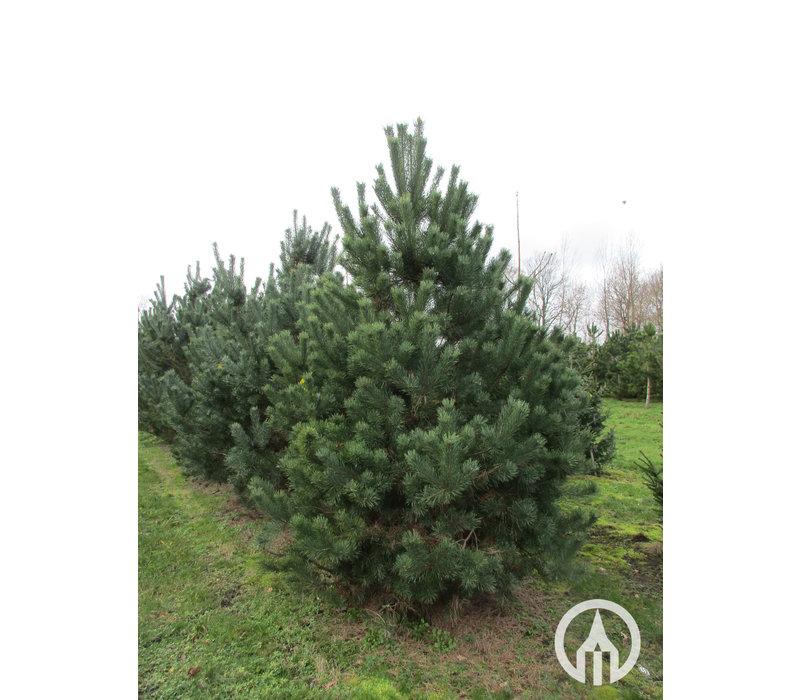 Pinus sylvestris | Grove den