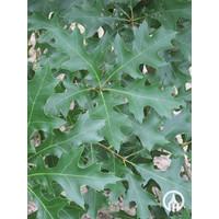 Quercus palustris | Moeraseik - Dakvorm