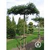 Boomkwekerij M. van den Oever Quercus palustris | Moeraseik - Dakvorm