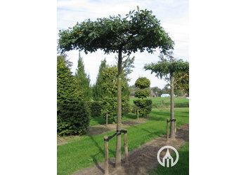 Boomkwekerij M. van den Oever Quercus palustris - Dakvorm