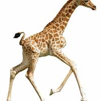 Madd Capp Legpuzzel I Am Lil Giraffe 100 st