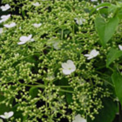 Exklusive Kletterpflanzen
