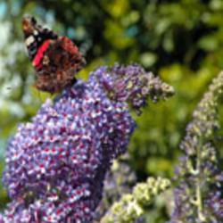 Schmetterlingspflanze
