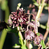 Akelei vulgaris 'Black Barlow'