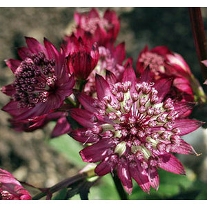 Astrantia major 'Abbey Road' (R)