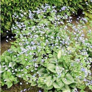 Brunnera macrophylla 'Jack Frost' (R)