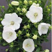 Campanula carpatica 'Weisse Clips'