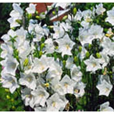 Campanula persicifolia 'Alba'
