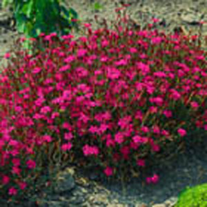 Dianthus deltoides 'Flashing Light'