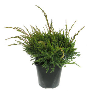 Juniperus media 'Mint Julep'