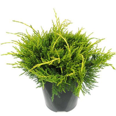 Juniperus media 'Old Gold'