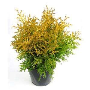 Thuja occidentalis 'Golden Globe'