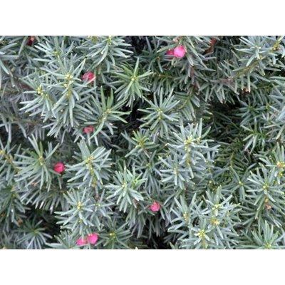 Taxus baccata, glänzend grün
