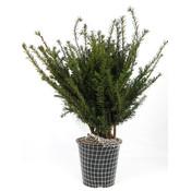 Taxus baccata, glanzend groen