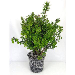 Grüne Berberitze