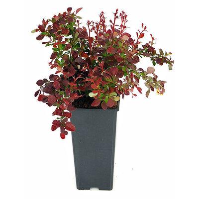 Rode berberis, donkerrood