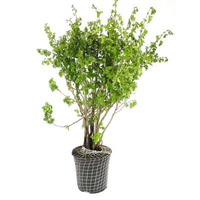 Meidoorn, groen