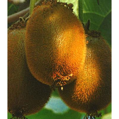 Kiwi, chinesische Stachelbeere