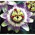 Passionsblume lila-weiße Kletterpflanze für den Garten. Frisch geliefert!