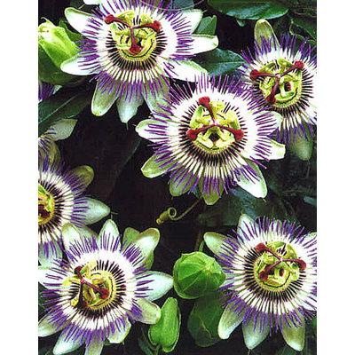 Passiebloem klimplant paars-wit voor in de tuin. Vers geleverd!