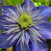 Wunderschöne Kletterpflanze für den Garten, Clematis 'Multi Blue'