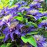 Prachtige klimplant voor in de tuin, Clematis 'Multi Blue'