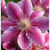 Prachtige klimplant voor in de tuin, Clematis 'Dr. Ruppel'
