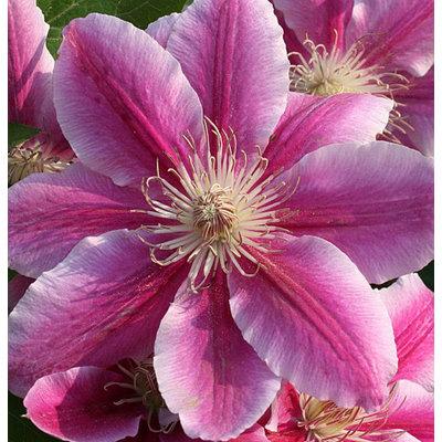 Wunderschöne Kletterpflanze für den Garten, Clematis 'Dr. Ruppel