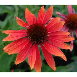 Echinacea 'Sundown' (R)