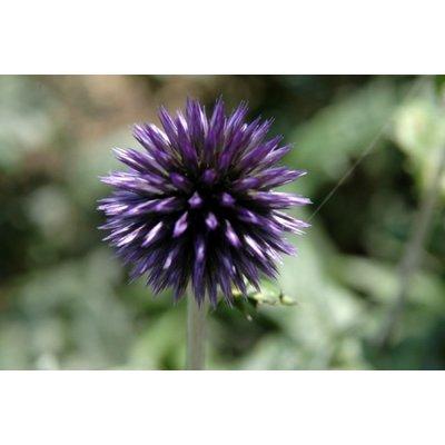 Echinops ritro 'Veitch's Blue'