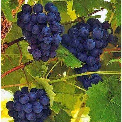 Blauwe druif 'Boskoop Glory'