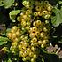 Ribes rubrum ´Witte Parel´