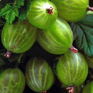 Ribes uva-crispa ´Hinnonmäki Grön´
