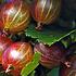 Ribes uva-crispa ´Hinnonmäki Röd´