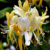 Lonicera japonica ´Hall´s Prolific´