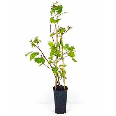 Brombeeren Rubus fruticosus ´Black Satin´