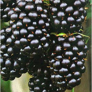 Bramen Rubus fruticosus ´Black Satin´