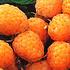 Himbeere 'Fallgold'