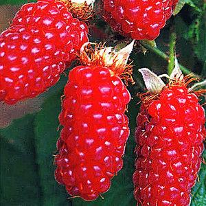 Himbeere 'Tayberry'