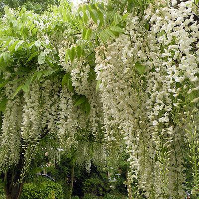 Wisteria floribunda ´Alba´, wit